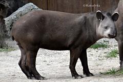 Pinto (Haku_Orka) Tags: hakuorka photography photo foto animali animals mammals mammiferi parco natura viva nature park verona italia italy tapiro south america sudamericano pinto young giovane