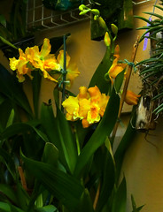 Oncidium George McMahon hybrid orchid 7-16 (nolehace) Tags: summer nolehace sanfrancisco fz1000 716 flower bloom plant oncidium george mcmahon hybrid orchid