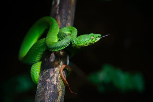 Trimeresurus fucatus, Banded pit viper - Khao Sok National Park