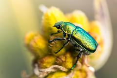 Jewel Beetle (Lennixx) Tags: green beetle shiny iridescent pollinator perth wa australia coleoptera conostylis bushland wild buprestidae flower kingspark