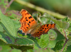 Comma at Brandon Marsh (robmcrorie) Tags: brandon marsh coventry warwickshire wildlife trust sssi nature reserve comma butterfly