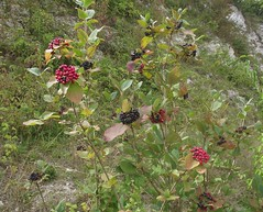 Viburnum lantana (Wayfaring-Tree), Cherry Hinton Chalk Pits, Cambs, 21.8.16 (respect_all_plants) Tags: wayfaringtree viburnumlantana cherryhinton chalkpits eastpit cambridge cambs cambridgeshire wildflowers