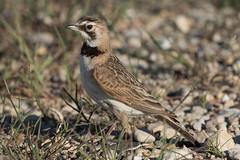 Horned Lark (female) (Jeremy Meyer) Tags: hornedlark horned lark bird nature