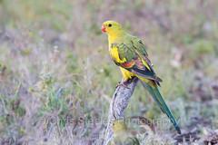 Regent Parrot (chrissteeles) Tags: regentparrot parrot bird birding polytelis hogwashbend southaustralia sa riverland