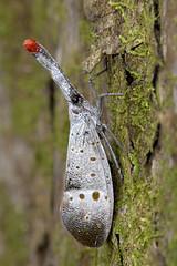 160827 - Lantern bug (y_leong23) Tags: lanternbug