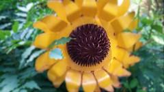 FOCUS ON THE CENTER SUNFLOWER ART (Visual Images1) Tags: hss sunflower art focus slidersunday