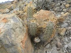 Echinocereus brandegeei RB1008 (Robby's Sukkulentenseite) Tags: bajasur brandegeei cacti cactus echinocereus erecti ka1003s kakteen kaktus mexiko pichilinque rb1008 reise tecolote