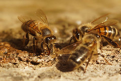 Honingbij - Apis melifera (henk.wallays) Tags: aaaa arthropoda anthophila apis apismellifera ar asalari bees bier blanokrdlovce bonkoskrzyde europa france gard hautflgler henkwallays honigbij honingbij hymenoptera insect kiletiivalised location mehiliset nature opnokrilci phng pravepele rousson solitrbiene solitrbienen steklar zarkanatllar abeille abeillesauvage abejas antfilos apiformes bee biene bienen bij bijen bonkwki closeup himenpteros hymenoptere hymnoptres hrtysszrnyak imenotteri insecta insecte insekt macro natuur sauvage solitaire solitary vliesvleugelig vliesvleugelige wildebij wildlife revengjer revingede