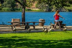 Los Gatos Creek Trail #2 (randyherring) Tags: recreational nature water outdoor lake trees vasonalakecountypark geese california santaclaracountyparks ca losgatos afternoon sky park canadagoose losgatoscreektrail grass brantacanadensis unitedstates us