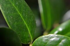 Macro Leaves (RachelFalwellPhotography) Tags: focal length