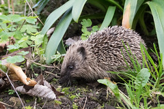 Hedgehog (Tim Melling) Tags: erinaceus europaeus european hedgehog west yorkshire timmelling