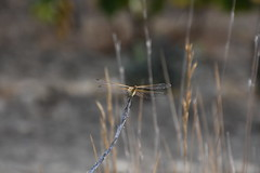 Sympetrum fonscolombii (esta_ahi) Tags: bellestar santamargaridaielsmonjos peneds barcelona spain espaa  sympetrum fonscolombii sympetrumfonscolombii liblula libllula dragonfly odonata insectos fauna
