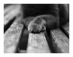 mr majestic (rainbowcave) Tags: majestic majesttisch cat tomcat katze kater bench bank wood holz paws pfoten