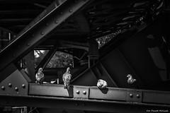 Pigeons (pawel.molisak.86) Tags: pigeons blackandwhite monochrome city birds vogel wuppertal bw nrw 2016 nikon d3200 germany pawelmolisak black white bird outdoor schwarzundweis