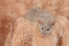 black eyed silver texel buck (CSBeck) Tags: blue pet cute silver mouse rodent longhair mice curly angora rex rodents texel blackeyed bes caracul