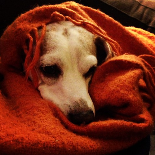 Dinger in an orange blanket