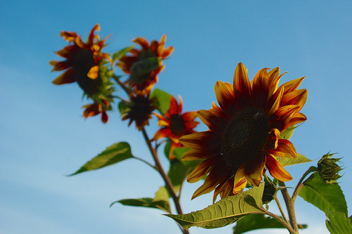 262/366: Sunflower patch