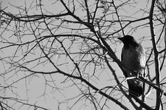 DSC_0065 (rumorosa(mente)) Tags: tree gelo photo liguria genova crow albero bianco freddo nero rami corvo febbraio 2013