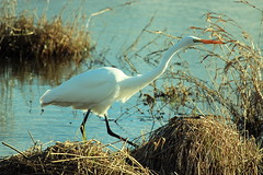 Egret (CleanCletus) Tags: bird oregon egret forestgrove fernhillwetlands