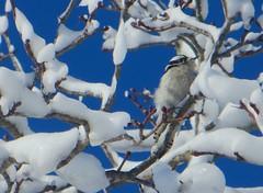 tiny woodpecker (saudades1000) Tags: winter snow tree bird nature woodpecker snowy branches hiver natureza aves ave inverno picapau