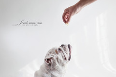 (wo)man's best friend (smalldogs) Tags: dog cookies training waiting bulldog patient mansbestfriend anticipation teasing patience tempting underbite womansbestfriend obedient luring ilovemydog whitebulldog thelittledoglaughed profileofadog bulldogprofile givingatreattomydog