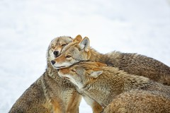 Coyote Hug (Perry McKenna) Tags: hug alpha day44 disagreement coyotes makingup omegapark day44365 3652013 365the2013edition 13feb13 theyarebiggerthanithought