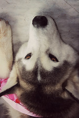 My boo (Signature Move Siberians) Tags: blackandwhite dog snow beauty tdi puppy happy grey blackwhite rally royal competition siberianhusky servicedog obedience sled bestfriend athena royalty ambereyes sleddog greatness akc snowdog rn cgc therapydog queenofmyheart rallynovice athenalove