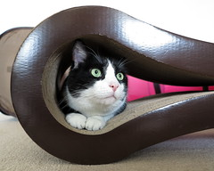 Oliver in Cardboard Tube (Mr.TinDC) Tags: pet cats pets cute animal animals cat oliver tube kitty tunnel cardboard kitties felines scratchingpost