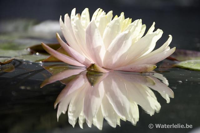 Waterlelie Mangala Ubol / Nymphaea Mangala Ubol