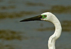 great egret (breed) (neilfif11) Tags: birds hongkong breed greategret egrets maiponaturereserve nikon3004afslens nikond3s nikon17xtele