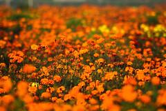 371 - Colors of Spring  [Explored - Feb 17, 2013 #51] (ArvinderSP) Tags: flowers nature field spring nikon marigold basant 2013 vasantpanchami tamronaf70300mmf456dild basantpanchami d3100