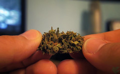 Busting Open a Bud (GanjaGrouch) Tags: high weed 420 pot thc marijuana cannabis sativa stoner ganja nug