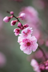 Flowering Plum (Mark Zukowski) Tags: flower macro spring plum floweringplum