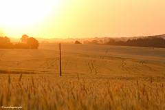 Golden Hour (ricardoyamazaki) Tags: sunset golden warm wheat dourado prdosol trigo