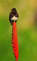 Riding the Aloe Rocket (Bill Gracey) Tags: california red color green bird nature aloe colorful sandiego bokeh blossoms lajolla perch blackphoebe flycatcher passerine tyrantflycatcher aloeblossom