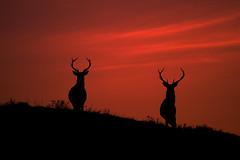 Stags at dawn (Gavin MacRae) Tags: winter red nature silhouette sunrise mammal dawn scotland nikon stag wildlife deer redsky