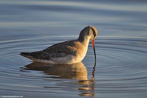 my wonderful world, Spotted Redshank