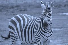 AninBlue (Worldwide Souris) Tags: africa kilimanjaro animals photography monkey buffalo travels kenya zebra elephants