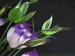 Lisianthus (abrideu) Tags: flowers macro canon ngc npc lisianthus abrideu fleursetpaysages flowerthequietbeauty