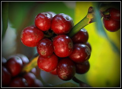Coffee Seed (Vinoth Babu Thirukonda) Tags: coffee seed ef50mmf18ii canoneos50d