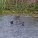 Ring-Necked Ducks in Elm Lake