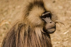 Gelada Portrait #3 (ViktorChenovsky) Tags: africa ethiopia geladababoon simiennationalpark simienmountain uploaded:by=flickrmobile flickriosapp:filter=nofilter