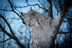 Looking for a prey (CecilieSonstebyPhotography) Tags: blue trees winter portrait snow tree closeup cat canon dusk ngc lynx gaupe langedrag catfamily eurasianlynx ef70200mmf4lisusm