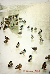 Ducks avoiding rows2_6690 (comeback_special) Tags: winter snow toronto ontario ice nature water birds canon outdoors birding parks ducks textures besteverdigitalphotography