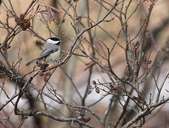 "Carolina Chickadee in Smooth Alder • <a style=""font-size:0.8em;"" href=""http://www.flickr.com/photos/92887964@N02/8515097759/"" target=""_blank"">View on Flickr</a>"