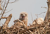 Great Horned Owl Chick (Amy Hudechek Photography) Tags: baby spring texas chick owl greathornedowl owlchick happyphotographer amyhudechek