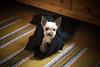 Yorkie (Nicke B) Tags: dog dogs yorkie animals sweden yorkshire terrier hund belle sverige yorkshireterrier zita kalmar djur hundar nicklas blomqvist nicklasblomqvist