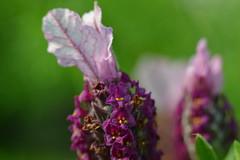 Lavandula stoechas (esta_ahi) Tags: barcelona espaa flores spain flora flor pacs peneds lamiaceae labiatae vivero lavandula lavandulastoechas capdase stoechas  cantueso cultivadas viverstorrents