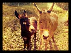 vita da asini... (cuginAle) Tags: donkey asini ciuchi nokiax3