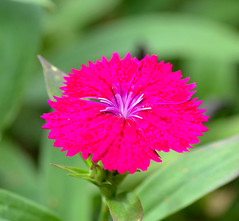 DSC_0029 (RUMTIME) Tags: flower nature queensland coochiemudlo amazingdetails silveramazingdetail